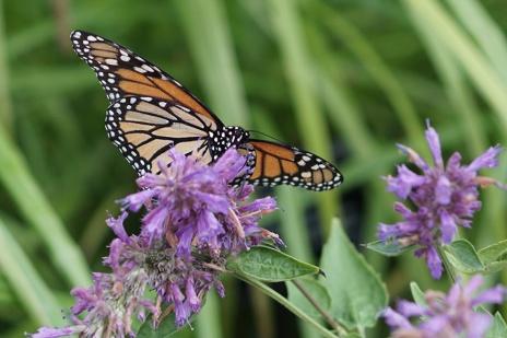 butterfly_08.15.17