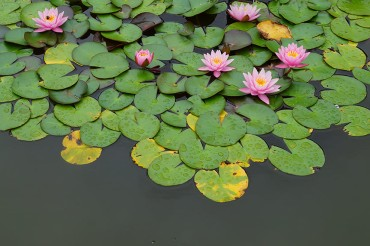 lilly_pond_08.15.17