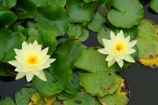 water_lillies_08.15.17