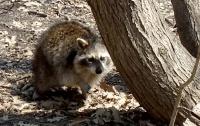 Central_Park_raccoon_04.14.18