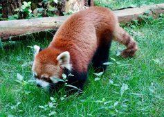 red_panda_08.25.18