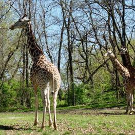 giraffes_04.24.19