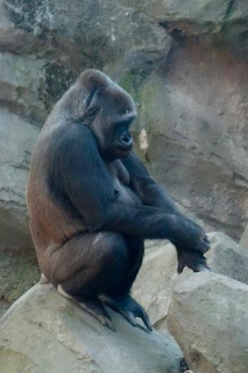 male_gorilla_04.24.19